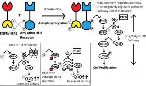 Figure 2. PI3K/Akt/mTOR pathway.