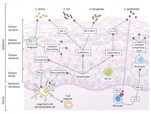 Figure 1. Innate immunity of the skin in the newborn